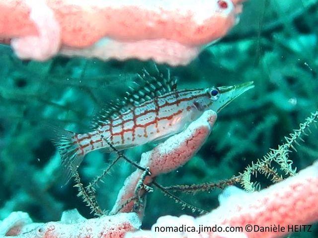 poisson, allongé, museau très fin, corps blanc, motif à carreaux rouge orangé