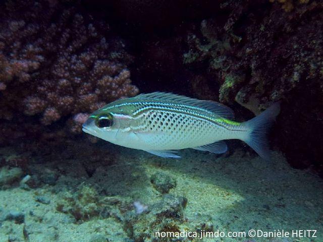 poisson, dos, lignes, brunes