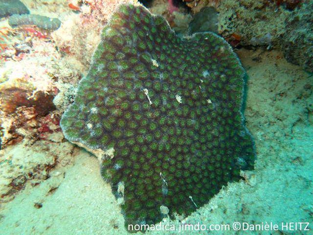 Corail, massif, encroûtant ou plaque, corallites rondes