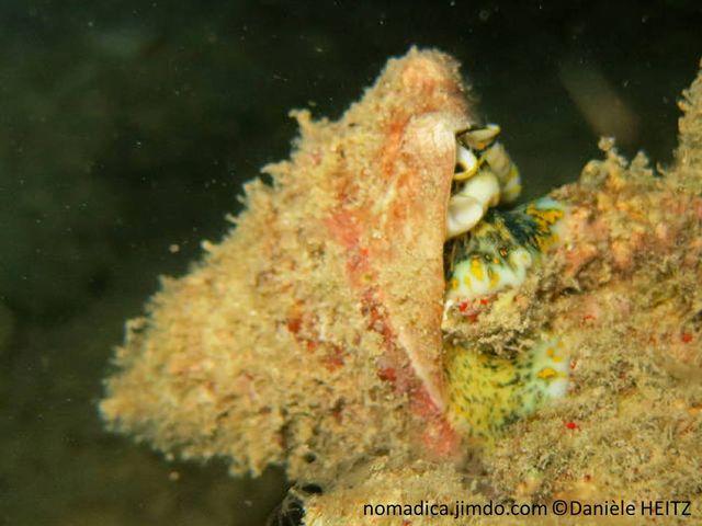 escargot, marin, base, large, surface, perlée, rose, mauve, pied, taches, jaunes, verdâtre ou grisâtre