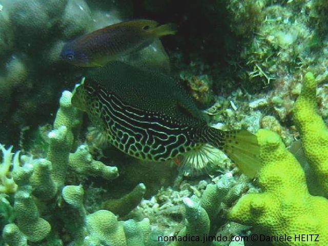 poisson, coffre, brun verdâtre,flancs, motif lignes blanc jaunâtre