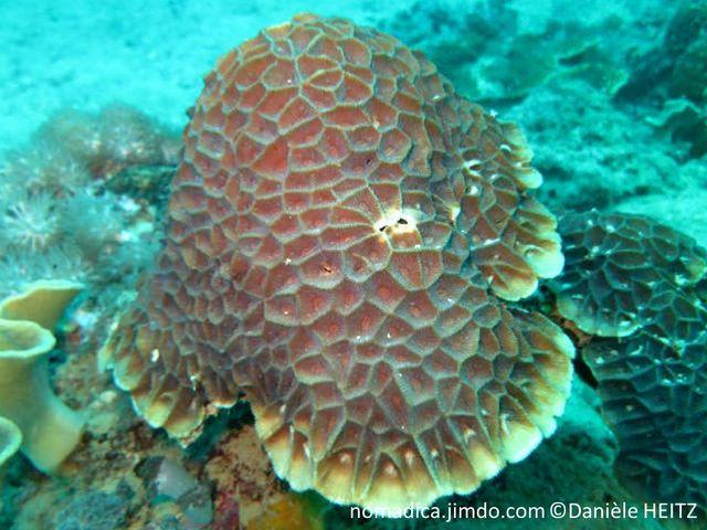 corail, dur, nid d'abeilles
