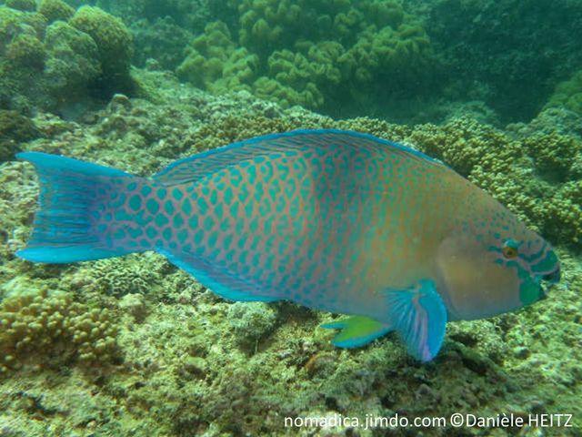 Poisson, corps bleu-vert, avant jaune-orangé, milieu du corps, bande bleue verticale