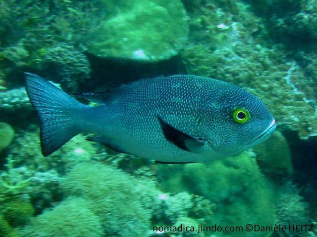poisson, grisâtre, yeux jaunes, nageoires noires