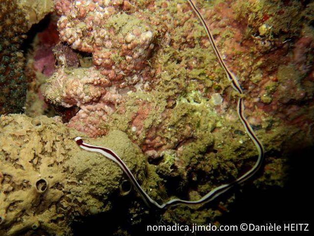 ver marin, plat, très long, blanc, une bande longitudinale brun rougeâtre