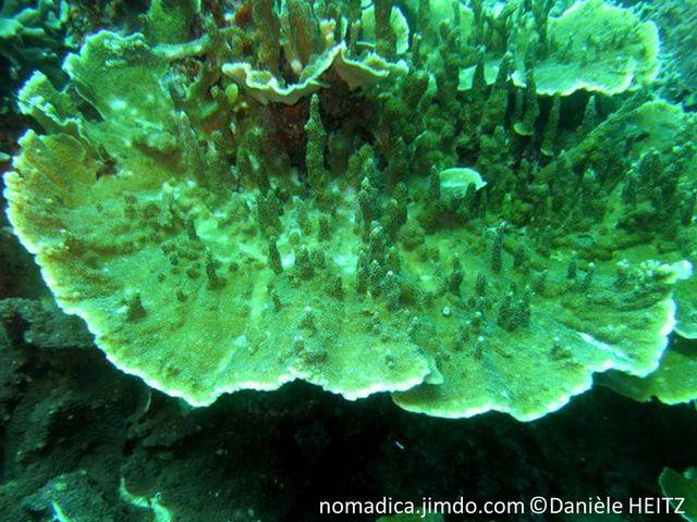Corail, lame, centre, branches irrégulières, verticales, centre corallites banc