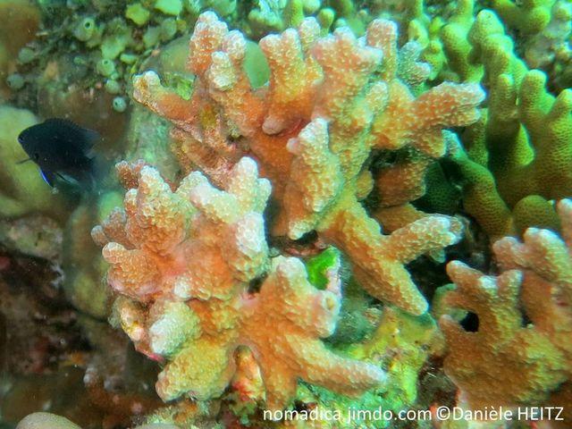 Corail dur, forme, touffe, branches courtes, trapues, corallites espacées, en creux, couelur brun pâle, grisâtre