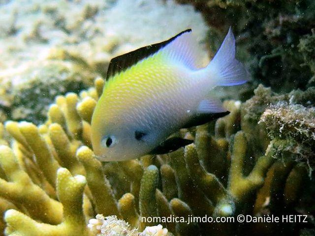 poisson,  jaune, blanc-bleuté, nageoire dorsale et anale, bande noire