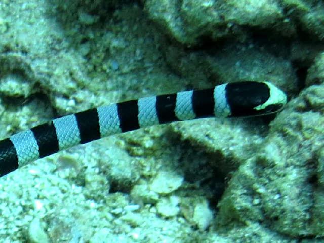 serpent, rayé noir