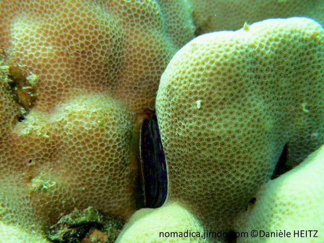 corail, dur, encrôutant