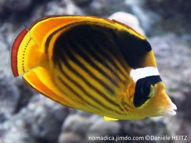 poisson, jaune, noir, lignes, obliques, tache noire