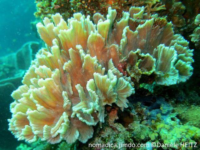 Corail dur, forme coupelle, ou plaques, lames cannelées, couleurs, brun jaune vert