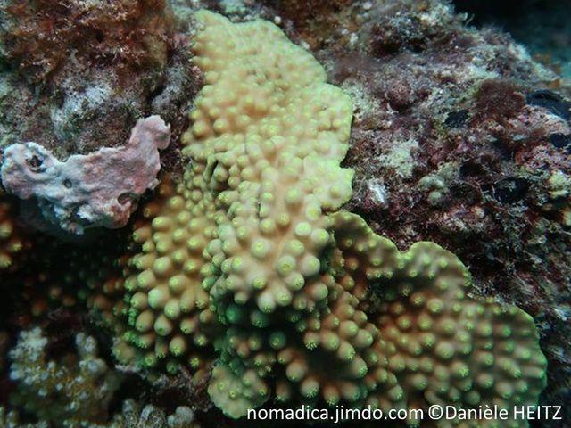 Corail encroûtant, brun , surface cônes espacés, polypes jaunes