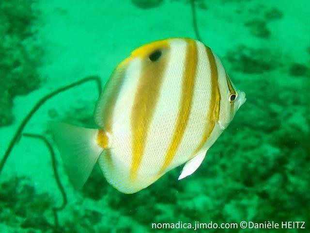 Poisson, comprimé, fond blanc, 5 bandes jaunes brodées brun, nageoire dorsale, tache noire