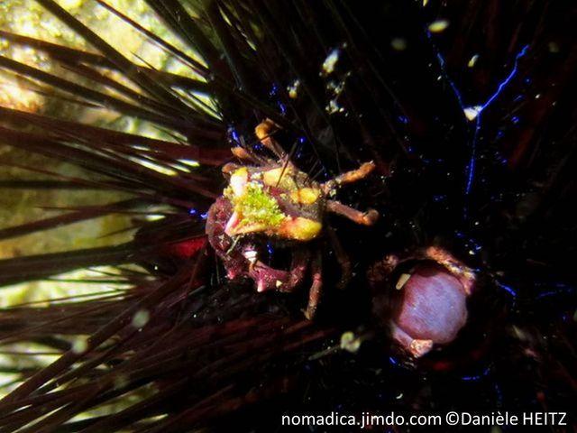 Crabe, très petit, rostre pointu, carapace hexagonale, mauve, 2 taches crèmes,