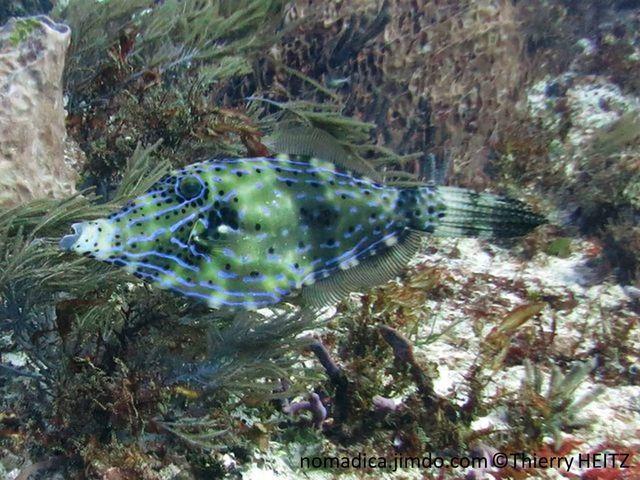 Poisson, forme losange, comprimé, verdâtre, lignes bleues, points noirs