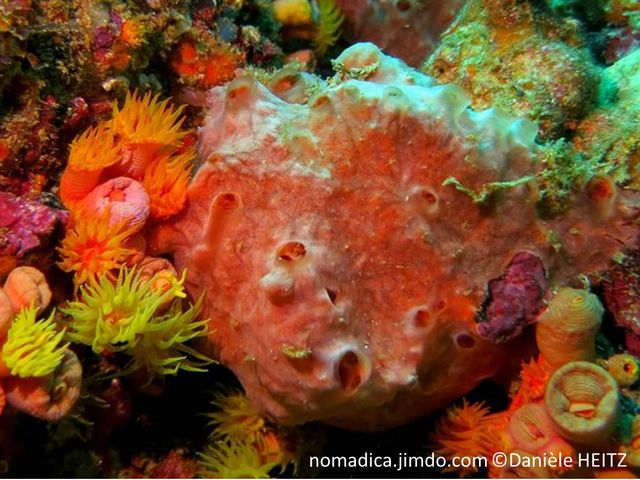 Eponge, rouge orangé, massive, oscules, membrane transparente