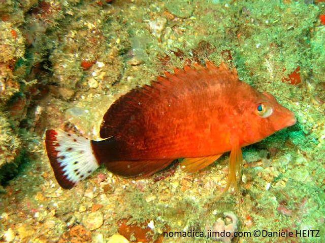 poisson, couleur orangé brun, queue, blanche, taches, brunes, bordure, brune