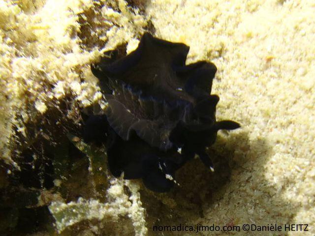 Nudibranche, noir