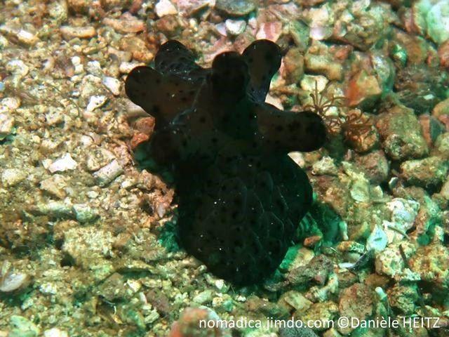 Gastéropode, forme limace, couleur velouté,  noir bleu foncé, vert sombre, dos, protubérances digitées