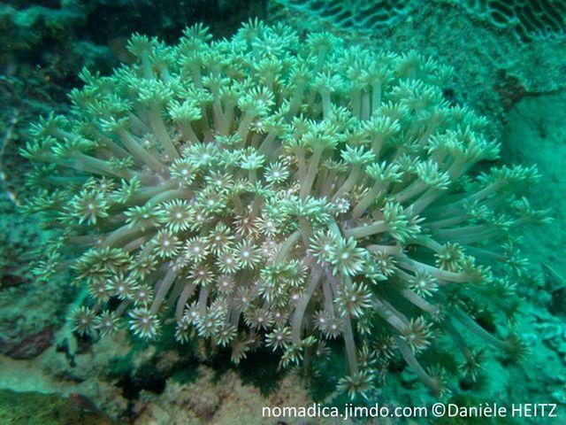 corail mou, forme fleur, polypes, gris-brunâtre, tentacules, pointes blanchâtres, disque oral petit  blanc
