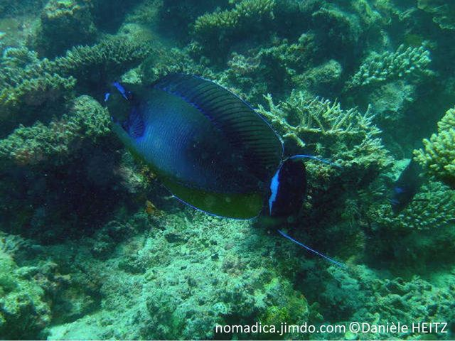 poisson, queue longs filament bleues, double scalpels