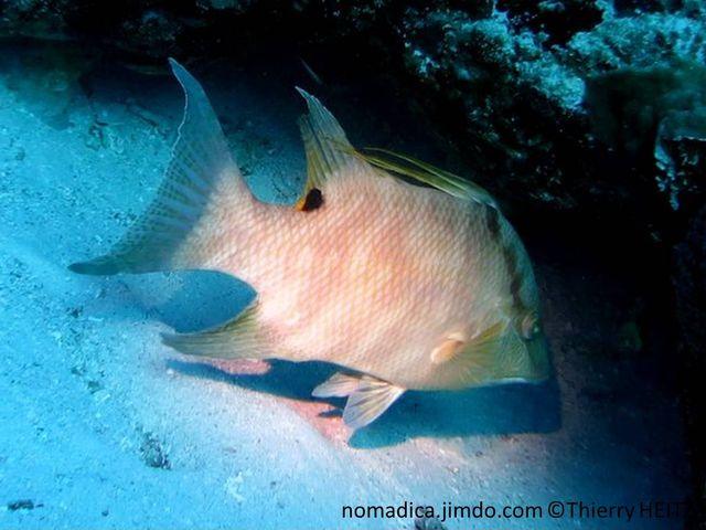 Poisson, comprimé, haut, pâle ou marbré, arrière dos tache noire, nageoires dorsale 3 très longues