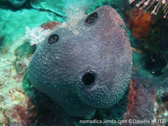 éponge, massive, noire, pédonculé, surface, conules, oscules peu nombreux