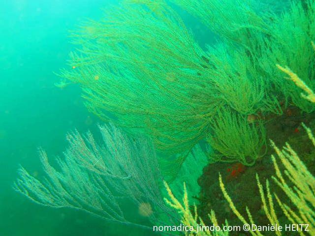 Corail, arborescent, jaune, blanc, branches fines
