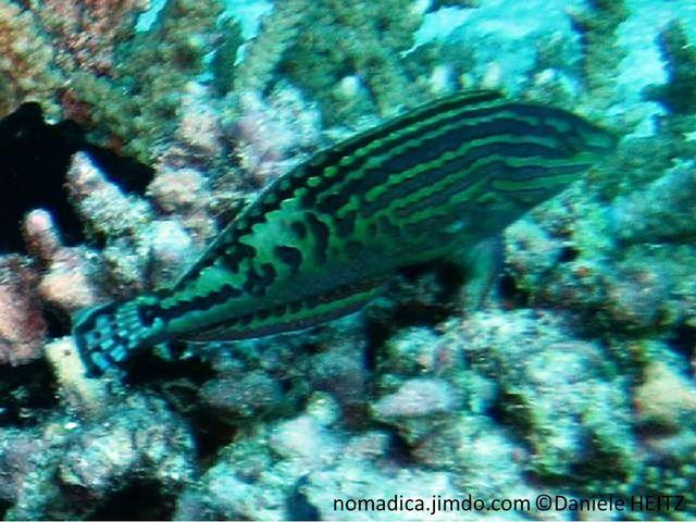poisson, allongé, turquoise, bandes, bleu-violacé,  entrecoupées à l'arrière