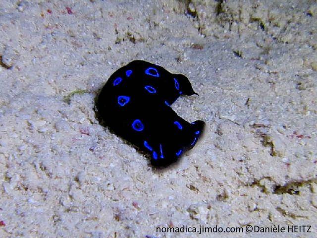limace de mer, noire à brune foncé, taches ou anneaux bleu vif.