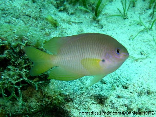 Poisson, bleuté-mauve, écailles à marge sombre, chevrons, nageoire jaune pâle, base  nageoire pectorale, tache noire
