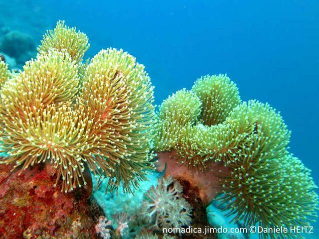corail, mou, forme champignon, surface largement ondulée, polypes, longs tubes, tentacules blancs