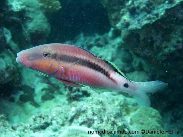 poisson, rougeâtre, bande noire, tache noire, nageoire dorsale, base, noire