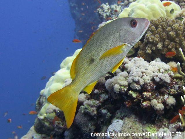 poisson, argenté rosâtre, tache noire, nageoires jaunes