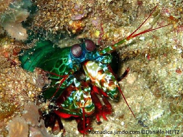 Crevette, squille, multicolore, paire de larges pagaies cilées colorées