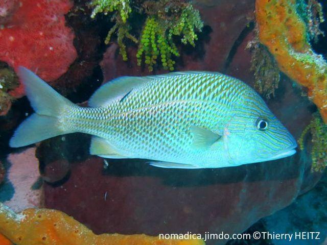 Poisson, comprimé, front haut, tête lignes bleues, dos, grosses écailles bleu-jaune