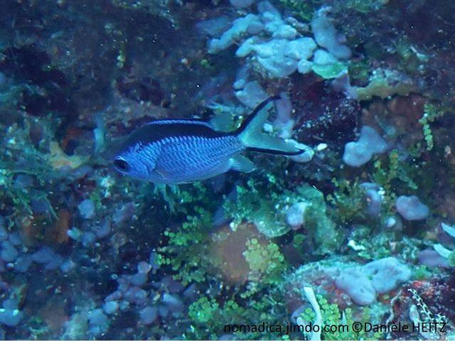 Poisson, corps, bleu vif, dos, bande noire, queue fourchue, lobes allongés, marges externes noires