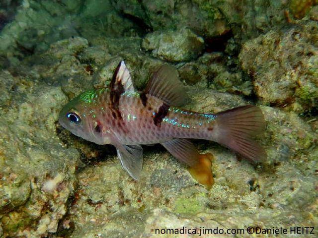 poisson, trapu, 3 barres, brun foncé, opercule, tache brune, 1ère nageoire dorsale blanche, 1ère rayon brun