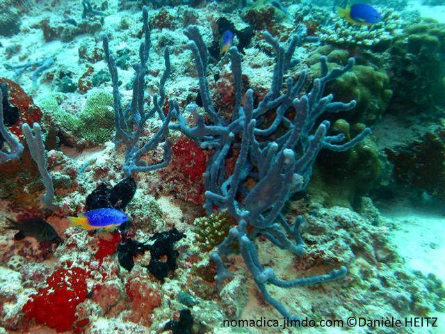 éponge, bleu-vif, branches ramifiées, oscules irrégulièrement répartis