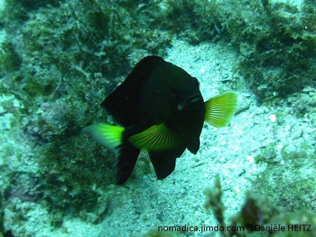 Poisson, comprimé, gris foncé, avant olivâtre, écailles,  lignes  verticales sombres, queue jaune, nageoires pectorales jaunes