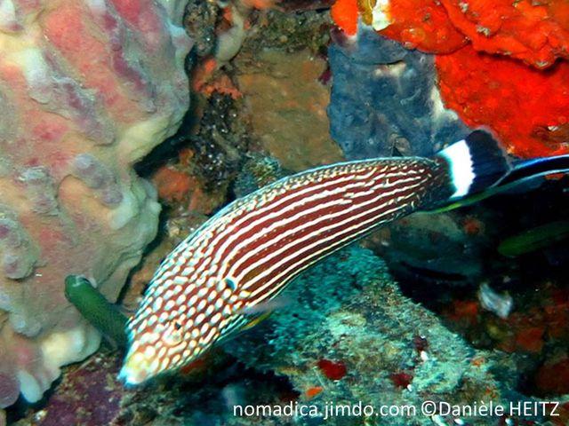 poisson, brun, tirets, blancs, queue noir bande verticale blanche