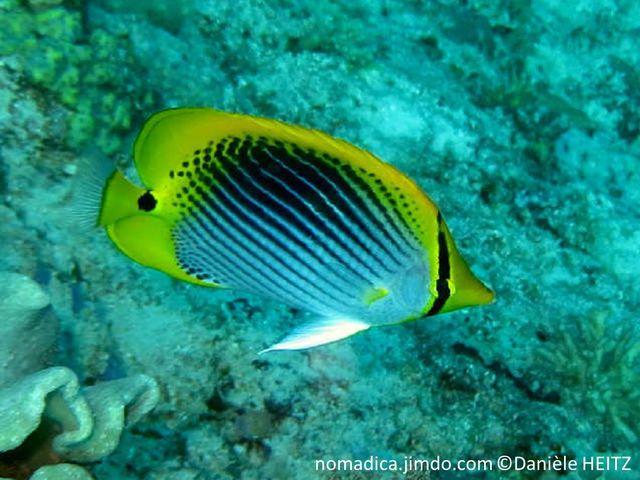 poisson, comprimé, blanc, nageoires jaunes, pédoncule caudale, tache noire, rayures obliques noires