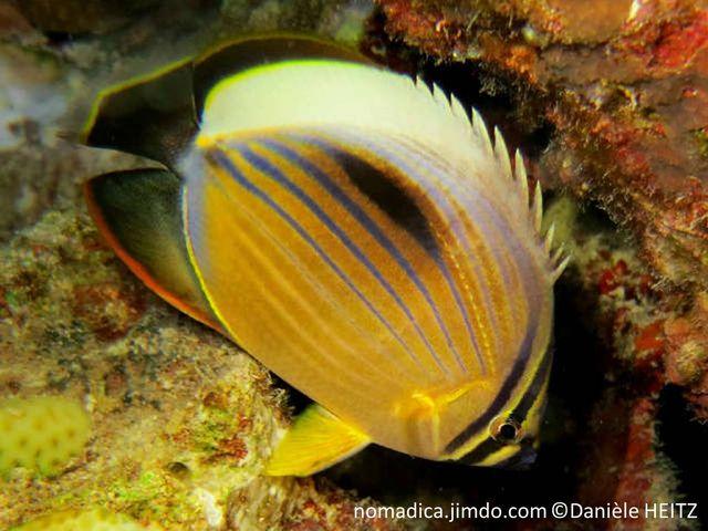 poisson, jaune, lignes horizontales bleues, tache noire