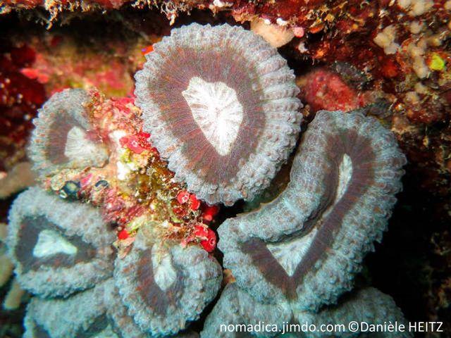 Corail dur, corallites individuelles, gris bleuté, gris brunâtre, centre clair, septes dents pointues