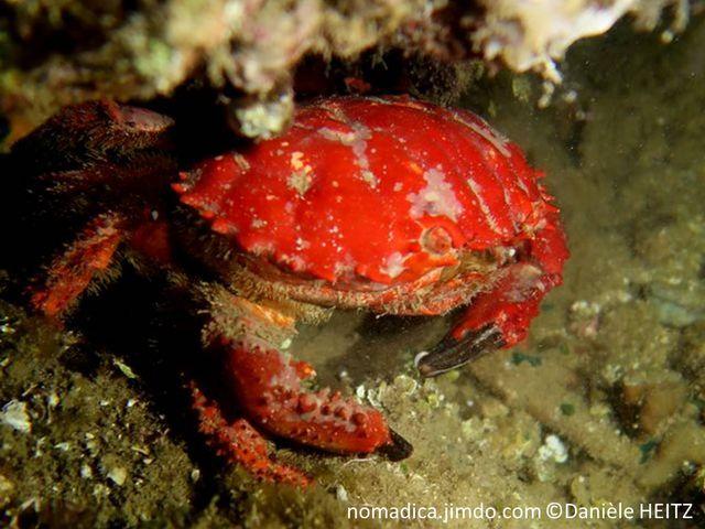 Crabe, carapace large, rouge,  pinces, terminaison noire