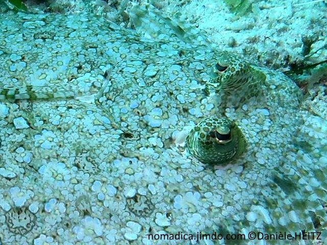 poisson plat, taches sombres, claires, tache foncée prolongement de la nageoire pectorale