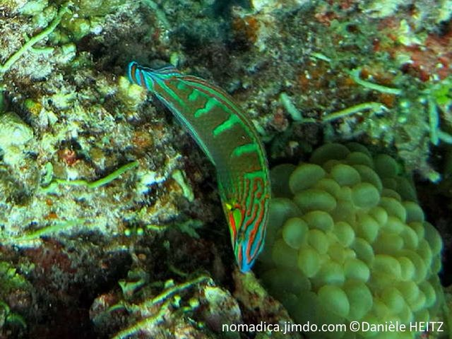labre, vert, dos, bandes vert clair, lignes rouge orangé, museau, lignes orangés, queue bleu, motif, lignes discontinues, orangés
