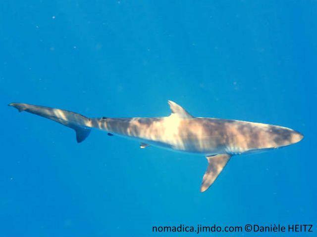 requin, long, fin, gris bronze, première nageoire dorsale courte, en arrière des pectorales, nageoires caudale, lobe supérieur, très long.