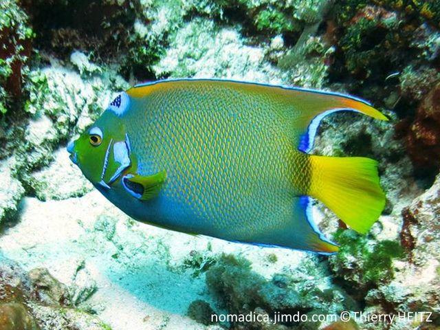Poisson, comprimé, bleu jaunâtre, tête jaune, tache bleu cerclé bleu vif, queue jaune